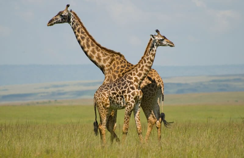 Honeymoon Destination - You can go on a full-blown safari and see the many animals including lions, elephants and leopards.
